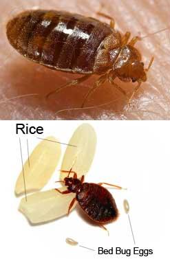 how to get rid of bed bugs end bed bug bites. Black Bedroom Furniture Sets. Home Design Ideas